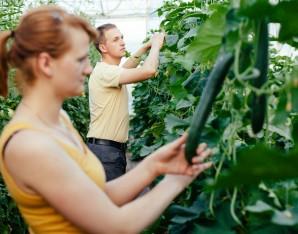 komkommers glastuinbouw